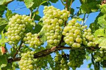 انگور آذربایجان غربی به کشورهای حاشیه خلیج فارس صادر می شود