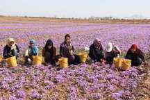زعفران 500 هزار نفرروز اشتغال در تایباد ایجاد کرده است