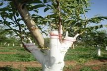 سرشاخه کاری درختان گردو درراستای افزایش کیفیت