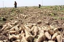 2 میلیون تن چغندرقند در آذربایجان غربی برداشت می شود