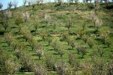 بیش از یکهزار هکتار باغ در اراضی شیبدار خراسان شمالی ایجاد شد