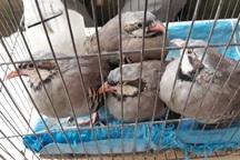 9 قطعه پرنده وحشی و زینتی قاچاق در تایباد کشف و ضبط شد