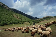 طرح اصلاح نژاد دام سبک روستایی در اصفهان در حال اجراست