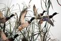 تدابیر لازم برای مقابله با آنفلوانزای پرندگان اتخاذ شده است
