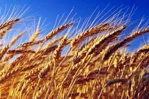 آغاز خرید گندم مازاد بر نیاز کشاورزان در کردستان