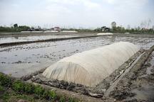 آغاز خزانه گیری برنج در گیلان