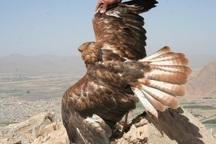 2 بهله کرکس و عقاب در گیلانغرب رهاسازی شد