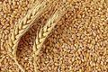 ۱۲۰ رقم گندم در کشور ثبت شده است
