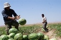 تدابیری برای بارگشت امید به کار ومعیشت بهره وران بخش کشاورزی ایلام