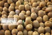پیشبینی تولید ۱۸۰ هزار تن کیوی در گیلان