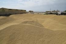 141 هزار تن گندم در آذربایجان غربی خریداری شد
