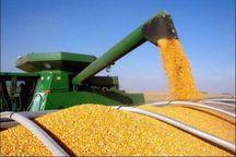 برداشت 60 هزار تن ذرت دانه ای در شهرستان داراب