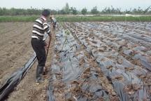 مالچ پلاستیکی، آفت جدید کم آبی در اراضی کشاورزی ورامین