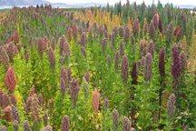 گیاه کینوآ برای نخستین بار در بافق کشت شد