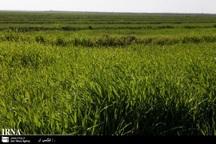 سطح زیر کشت محصولات دیم در جغتای افزایش یافت