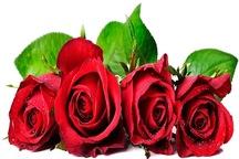 بیشتر مشهدی ها گل رز می خرند