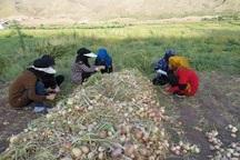 برداشت پیاز از سطح 2600هکتار زمین میناب آغاز شد