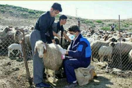 مایه کوبی 25 هزار راس دام سبک علیه بیماری آبله گوسفندی در قصرشیرین