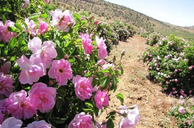 برداشت گل محمدی در مریوان آغاز شد