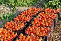 تولید 13 هزار و 600 تن خیار و گوجه در اندیمشک