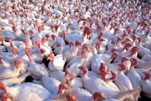 تولید گوشت بوقلمون در کهگیلویه به 180 تن افزایش می یابد