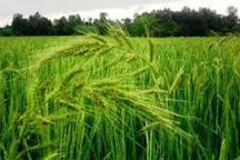 خارج شدن برنج از لیست پرمصرف ترین محصول آب بر با آبیاری تناوبی