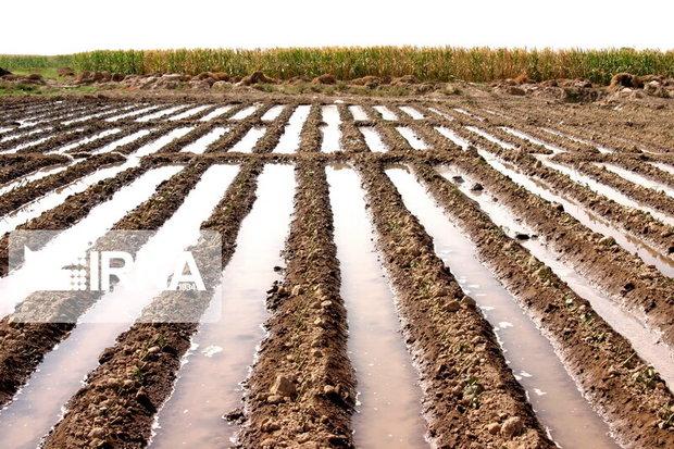 ۲۵ هزار هکتار زمینهای کشاوزی شادگان زیر کشت پاییزه قرار گرفت