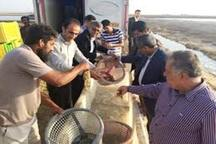تولید 600 تن میگوی پرورشی در دیر بوشهر