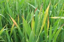 خسارت خشکسالی و سرمازدگی با تغذیه گیاهی کم می شود