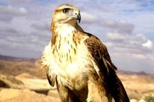 پرنده شکاری تحویل محیط زیست جیرفت شد