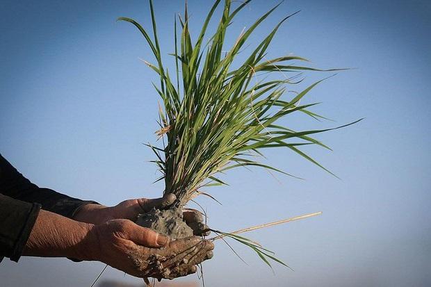 توزیع بذرهای گواهی شده برنج برای کشت در سال جدید