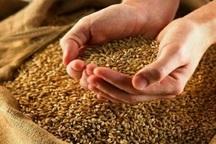 حدود 1400 تن بذر گندم در نقده توزیع شد