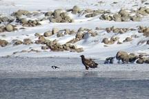 عقاب دریایی دم سفید در خراسان شمالی مشاهده شد