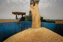 22 هزار تن گندم مازاد بر مصرف کشاورزان گچساران خریداری شد
