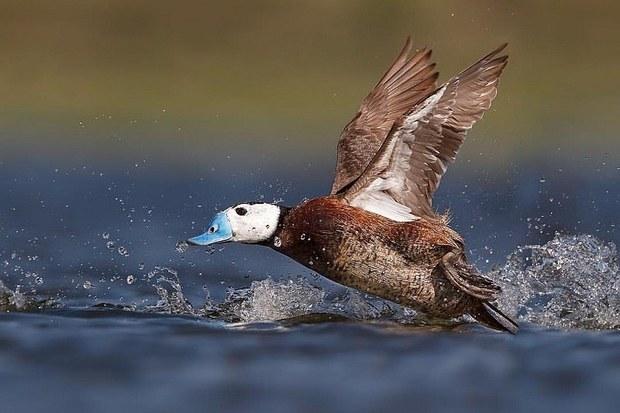 بازگشت اردکهای سرسفید به تالاب بین المللی قوری گول