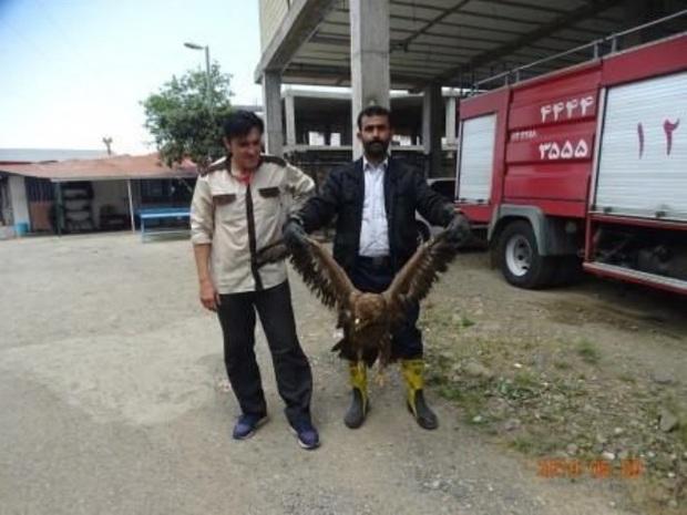یک بهله عقاب صحرایی نابالغ در لنگرود رهاسازی شد
