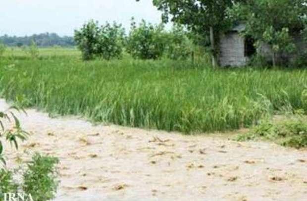 باران به 2070 هکتار محصولات زراعی مراوه تپه خسارت زد