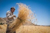 39 هزار تُن گندم از کشاورزان اصفهان خریداری شد