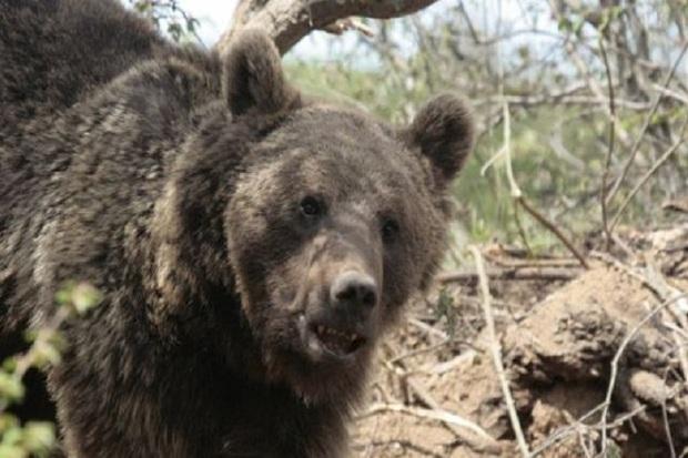 یک قلاده خرس گرفتار در کلیبر رهاسازی شد