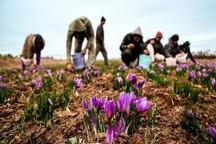 10 مرکز در خراسان رضوی گل زعفران کشاورزان را خریداری می کند