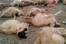 20 رأس گوسفند در تصادف جاده ایذه - دهدز تلف شد