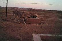 تصویربرداری از یک یوزپلنگ در پناهگاه میاندشت جاجرم