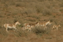 آمار گور ایرانی در پارک ملی قطرویه 17 درصد فزونی یافت