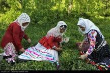 16هزارتن برگ سبز چای از باغ های شمال  برداشت شد