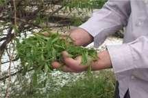سرما 487 میلیارد ریال به باغ های فاروج خسارت زد
