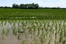 کشت برنج ارگانیک در منطقه آزاد انزلی