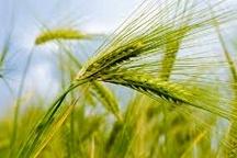 سطح سبز بسیار مطلوب مزارع گندم در استان زنجان  65 درصد سطح زیر کشت گندم در استان از ارقام اصلاح شده است
