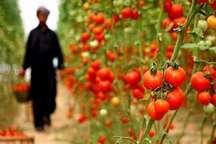 برداشت گوجه فرنگی از مزارع سرپل ذهاب آغاز شد
