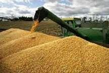 خریداری 217 هزار تن گندم مازاد بر نیاز از کشاورزان استان ایلام
