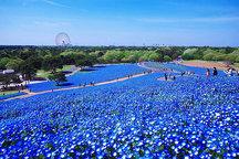 پارک عجیب هیتاچی با 4.5 میلیون شکوفه گلهای آبی در بهار + تصاویر